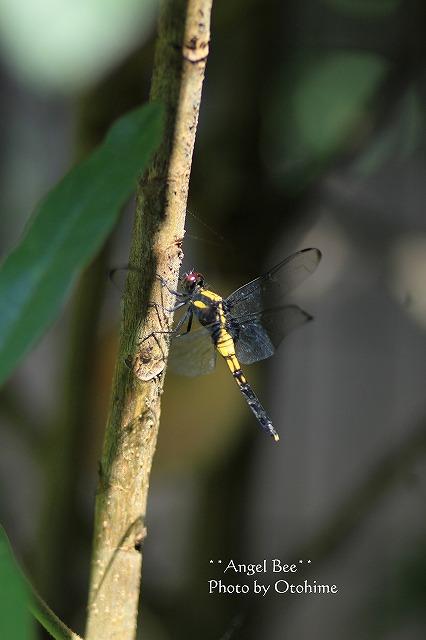 IMG_3490オオシオカラトンボの雌