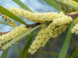 アカシア フロリバンダの花