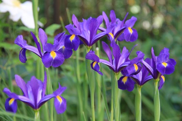 ダッチアイリス紫色