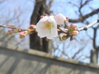 sakura+018_convert_20110328145900.jpg