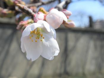 sakura+020_convert_20110328150008.jpg
