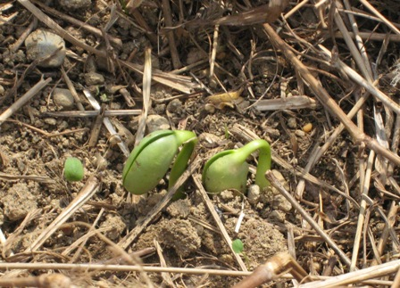 農園の枝豆 (1)