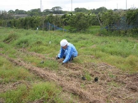 苗植え (1)