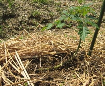 横植え法ミニトマト (2)