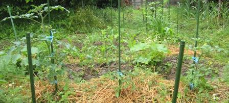 横植え法ミニトマト (4)