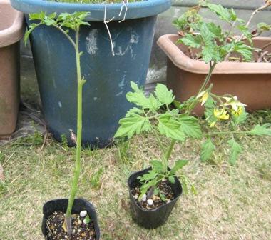 横植え法ミニトマト (1)
