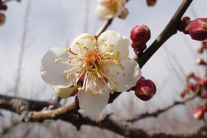 梅は4分咲き