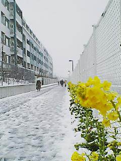 雪の菜の花
