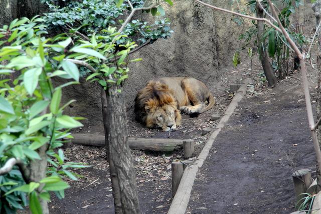 東京 上野動物園 ライオン