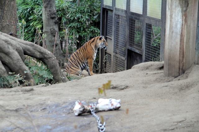 東京 上野動物園 トラ