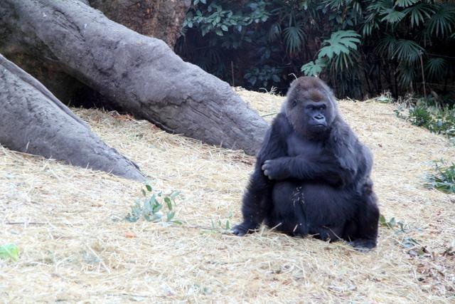 東京 上野動物園 ゴリラ
