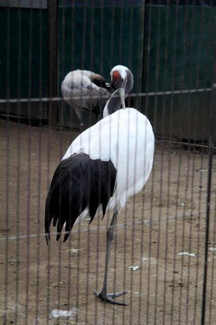 東京 上野動物園 ツル