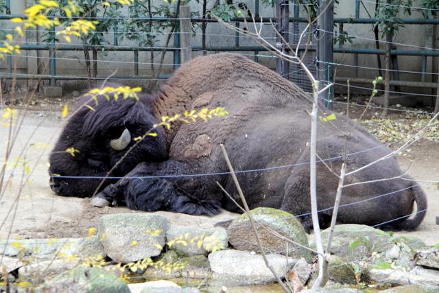 東京 上野動物園 バイソン