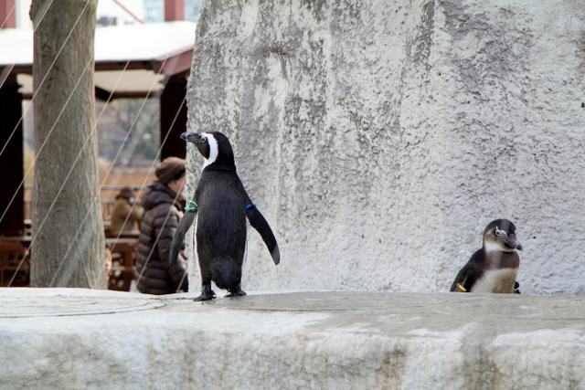 東京 上野動物園 ペンギン
