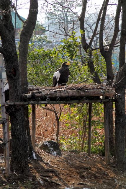 東京 上野動物園 オオワシ