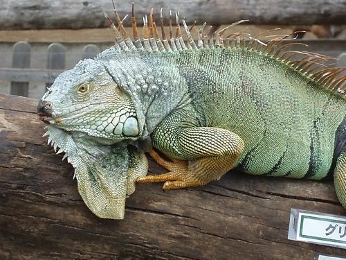 iguana02.jpg