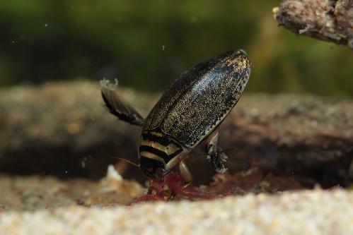 メススジゲンゴロウ