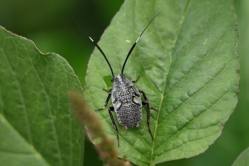 ゴキブリの一種
