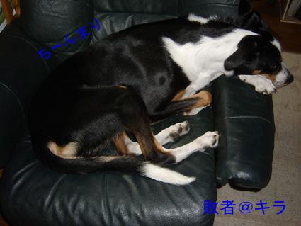 ソファーに上がりこんでしょぼくれて寝るキラ