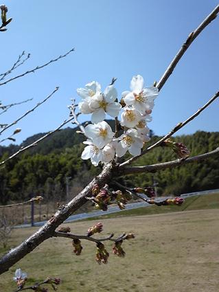 2011原っぱの桜開花