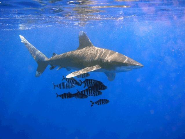 799px-Oceanic_Whitetip_Shark.jpg