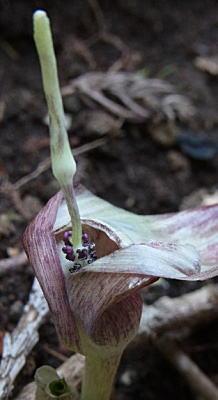ミツバテンナンショウの肉穂花序