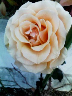 rose310jan2012.jpg