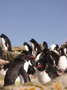 フォークランド/ペンギン