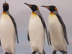 フォークランド/キングペンギン