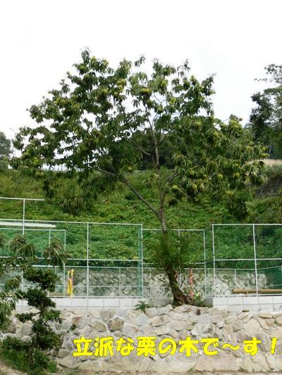立派な栗の木