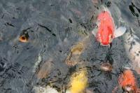 鯉サイズオーバー