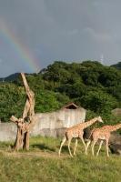 キリンと虹