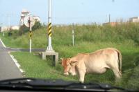 う、牛が・・・