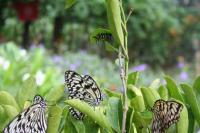 すごい数の蝶。上の葉っぱには子供の毛虫さんもついてたよ。