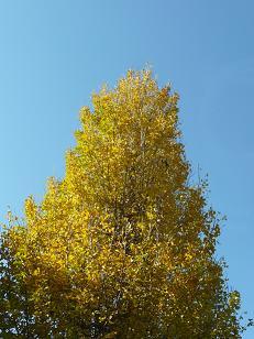 銀杏並木2