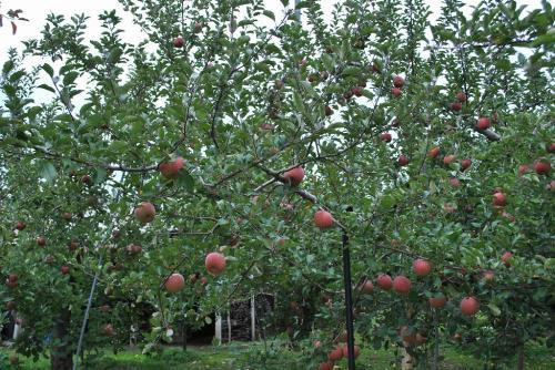 リンゴ狩り200911014