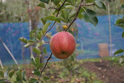 リンゴ狩り200911015