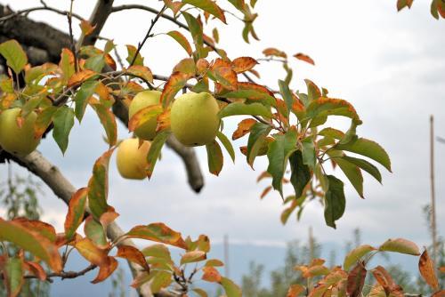 リンゴ狩り200911017