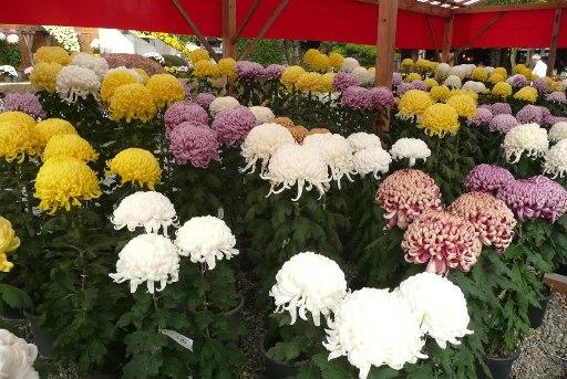 見事な菊の花
