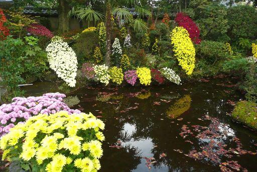 池に映える菊の花