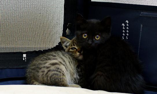 黒猫ちゃん警戒心強い9のコピー