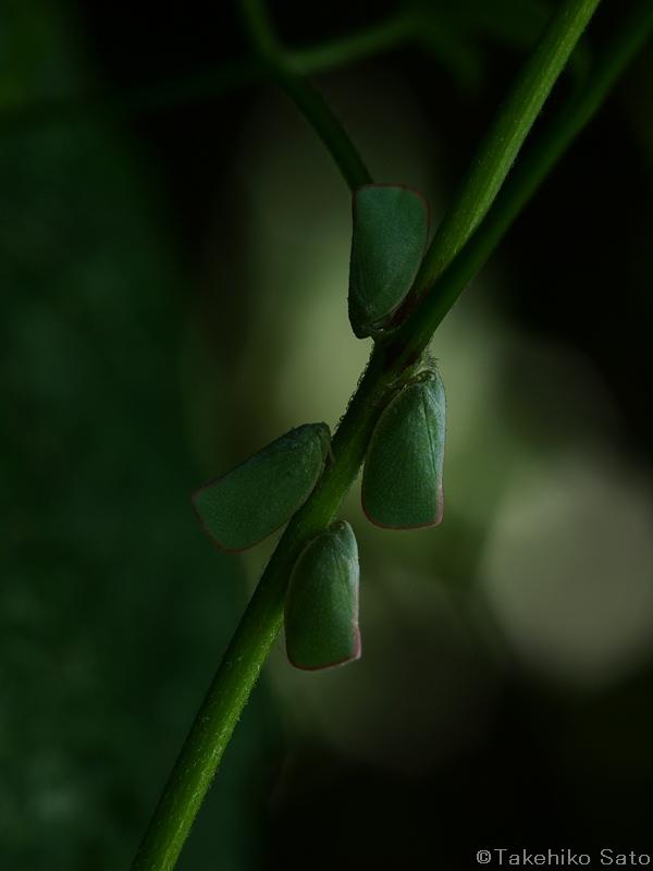 アオバハゴロモ