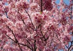 新宿御苑 4.5 ピンク