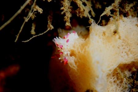 センヒメウミウシ