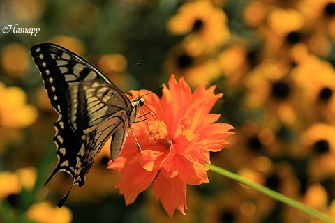 熱唱アゲハ蝶