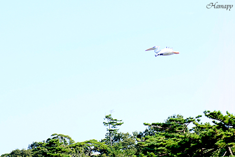 飛ぶペリカン