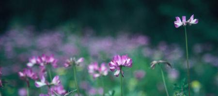Lotus field2