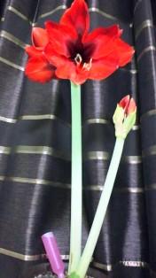 開花アマリリス