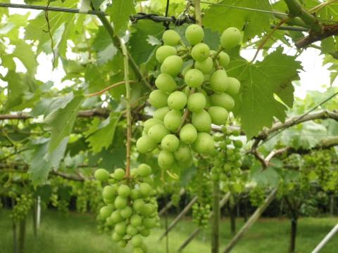 葡萄の実56