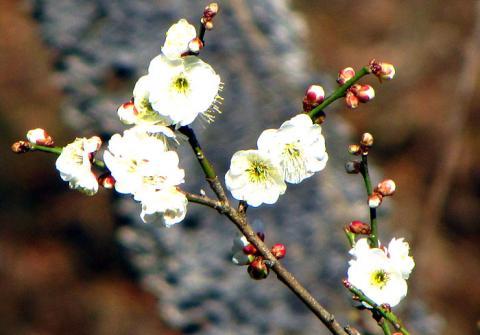 秩父ミューズパーク梅の花